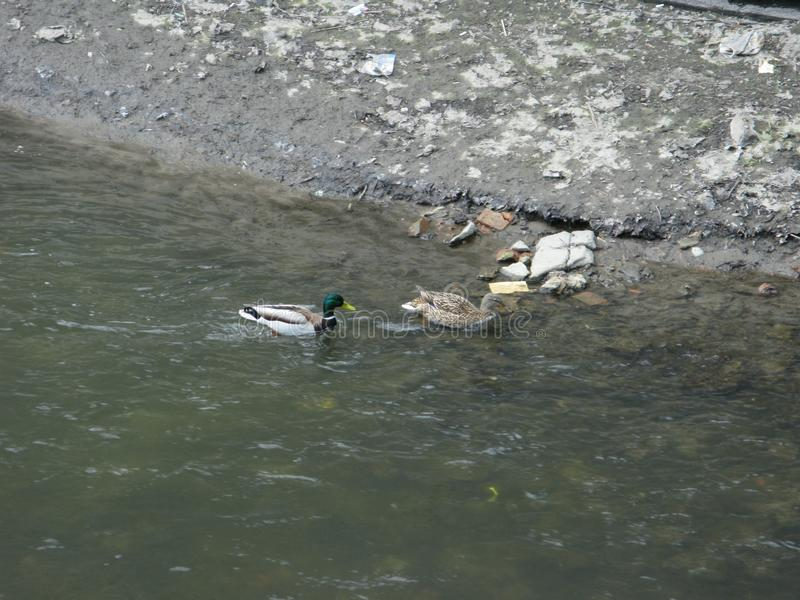 Mallards na wodzie zdjęcie stock