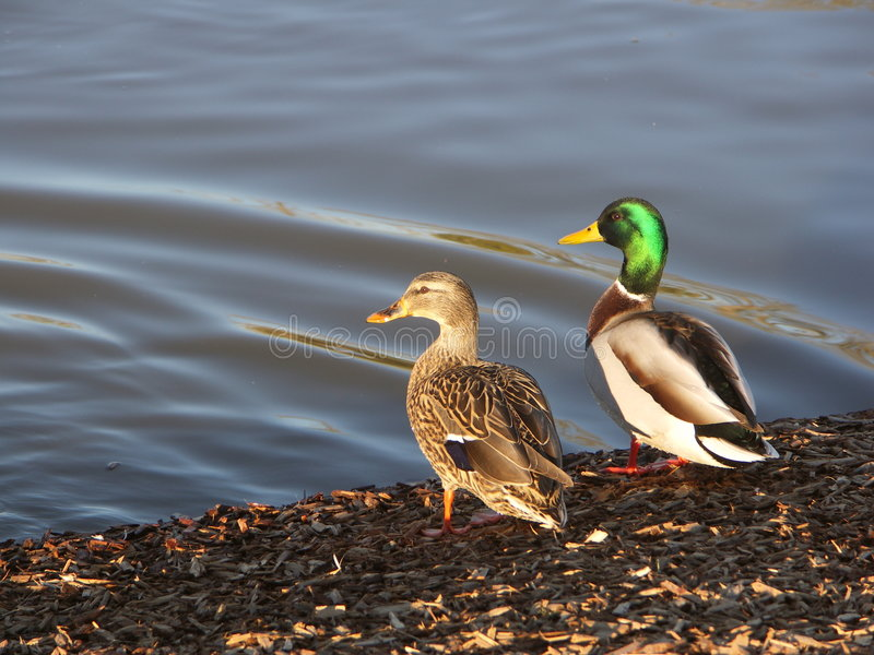 Mallards Sunning royalty free stock image