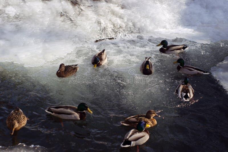 Mallards winterings w otwartej wodzie po środku lodu obrazy stock