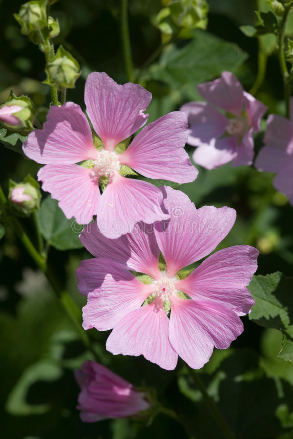 Mallow. Pink flowers of mallow close up royalty free stock photography