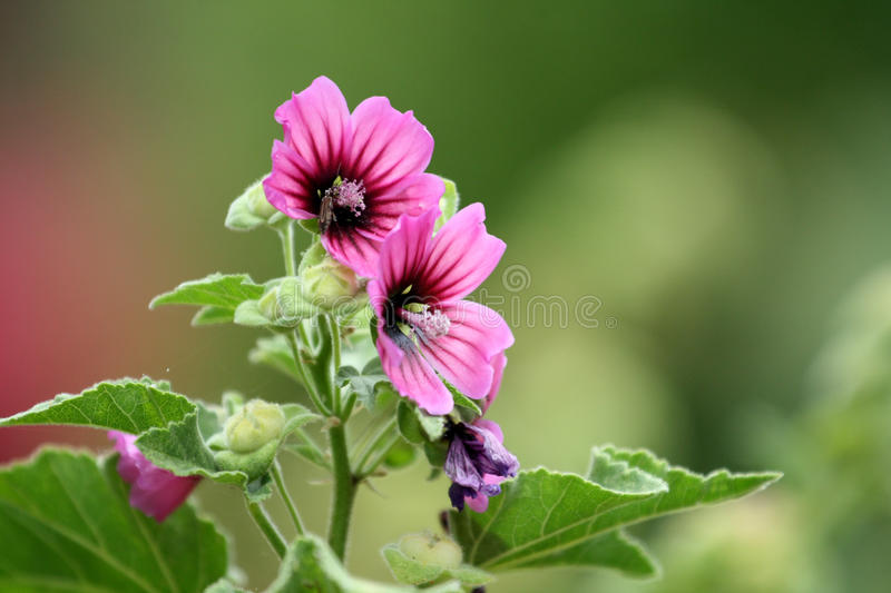Download Mallow stock image. Image of macro, beautiful, bloom - 14514741