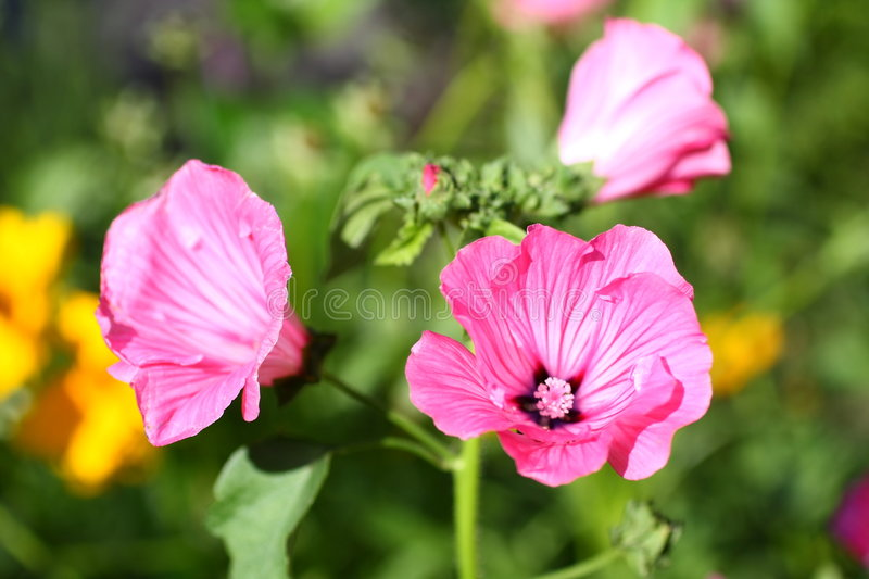 Mallow. Blooming Mallow in the sunshine stock photo