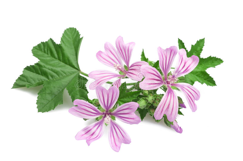 Mallow. Flowers and leaves isolated on white background stock image