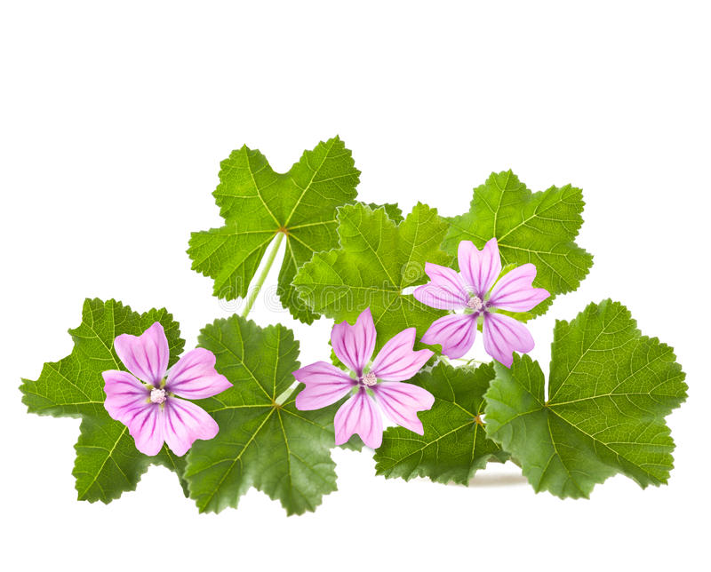 Mallow. With leaves and flowers isolated on white stock image