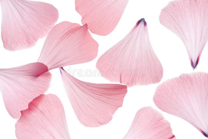 Mallow petals. Studio Shot of Pink Colored Mallow Petals Isolated on White Background. Macro stock images