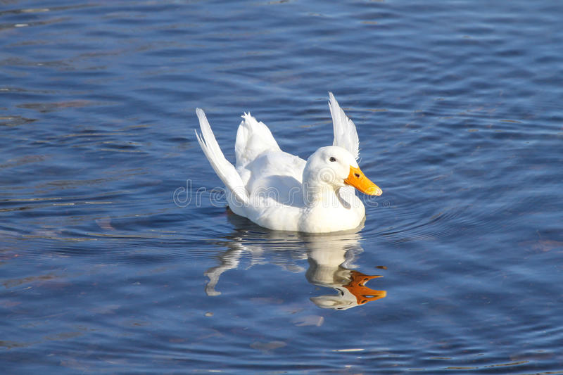 Download Malnourished Duck With Angel Wings Stock Image - Image of blue, feathered: 36647327