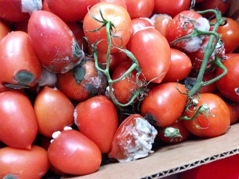 Malos tomates imagen de archivo libre de regalías