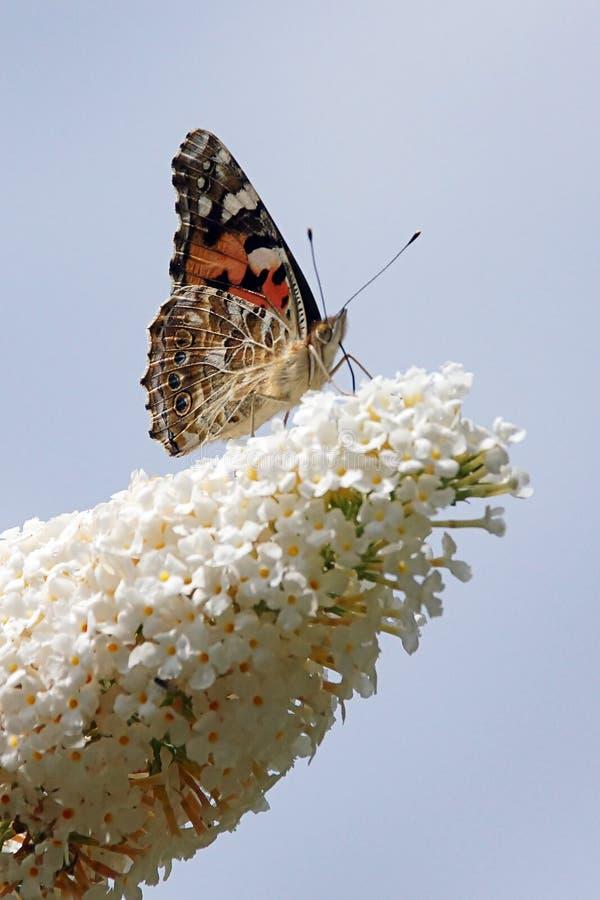 Malowana pani Vanessa cardui motyl na budlei fotografia royalty free