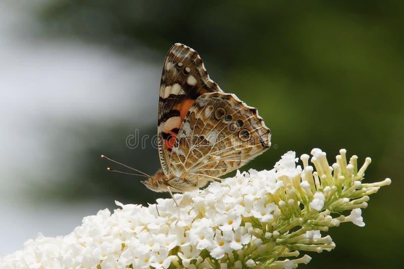 Malowana pani Vanessa cardui motyl na budlei zdjęcie stock