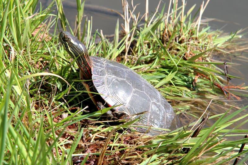 malowany żółw zdjęcia stock