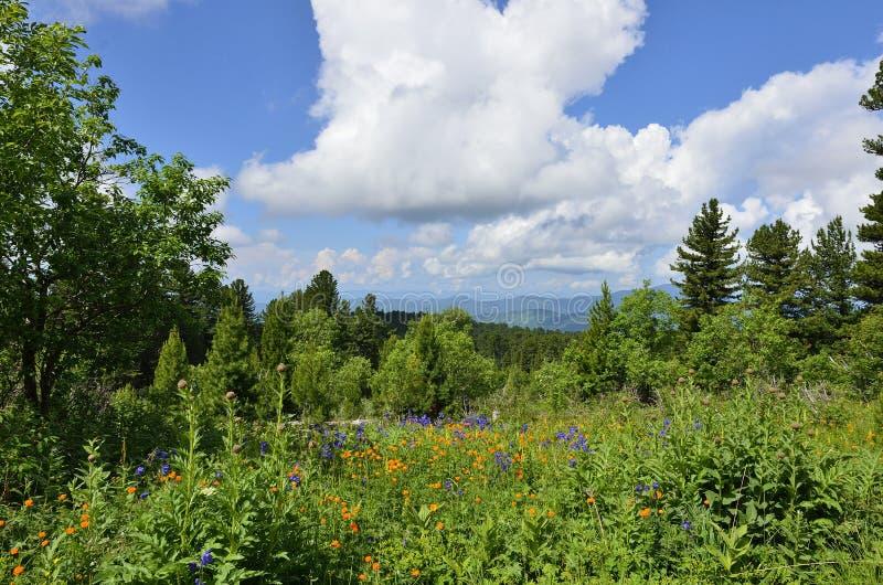 Malowniczy widok kwitnąć wysokogórską łąkę w Altai górach, R zdjęcia royalty free