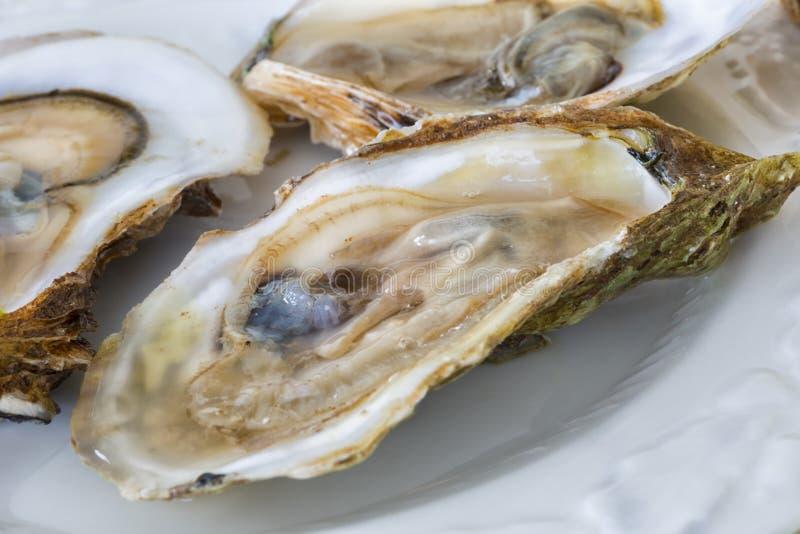 Malpaque ostron royaltyfri foto