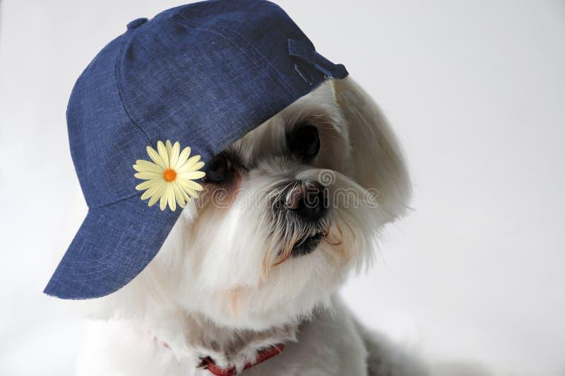 Maltański pies z nakrętką zdjęcia stock