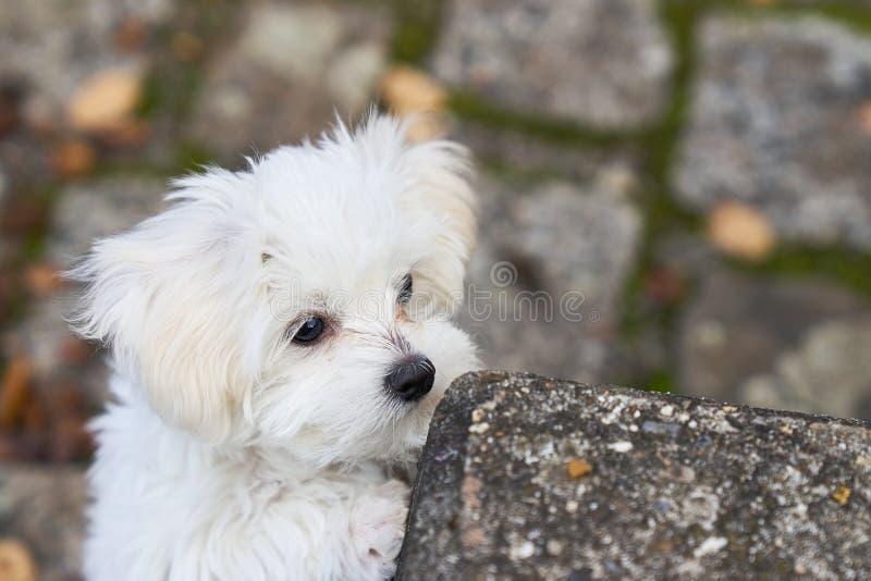 Maltański szczeniak wspina się skałę fotografia royalty free