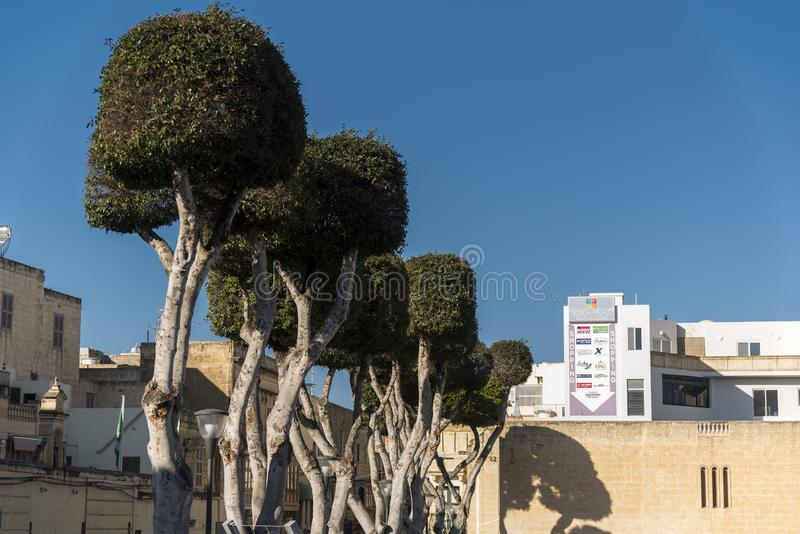 Pollarded trees on a street Victoria Gozo. Victoria also known as Rabat is the capital of Gozo Island, in Malta. It's known for its medieval Citadel stock image