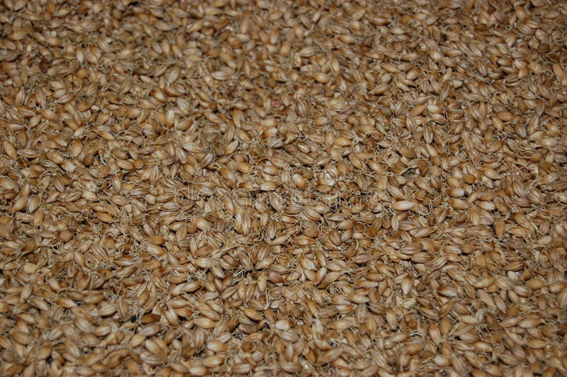 Malted barley stock images