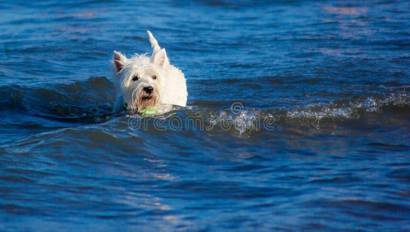 Maltees in het water op het strand van Sottomarina die de meester in de gaten houdt terwijl hij plezier heeft in het water stock afbeelding