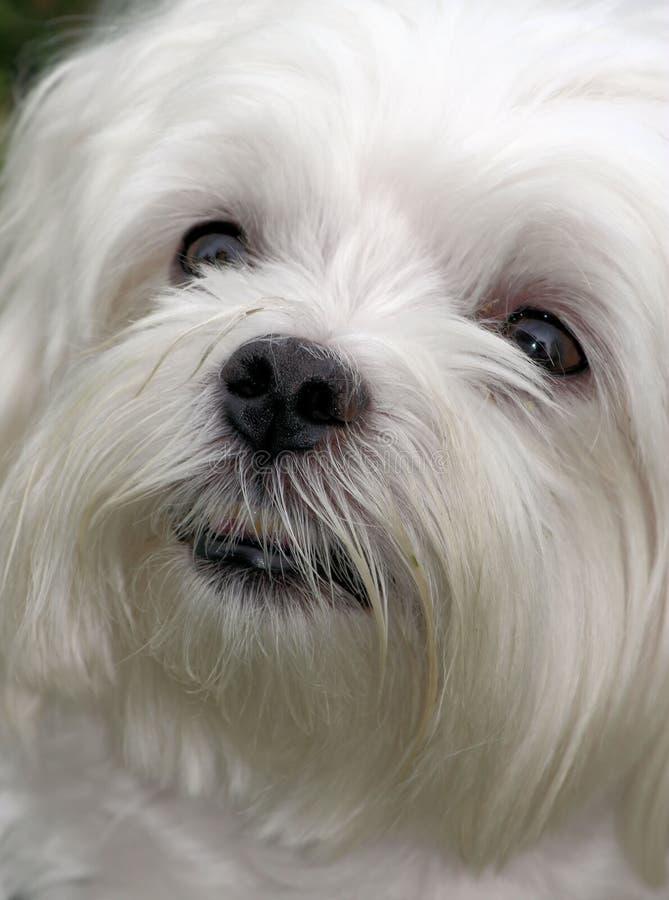 Maltees Puppy royalty-vrije stock afbeelding