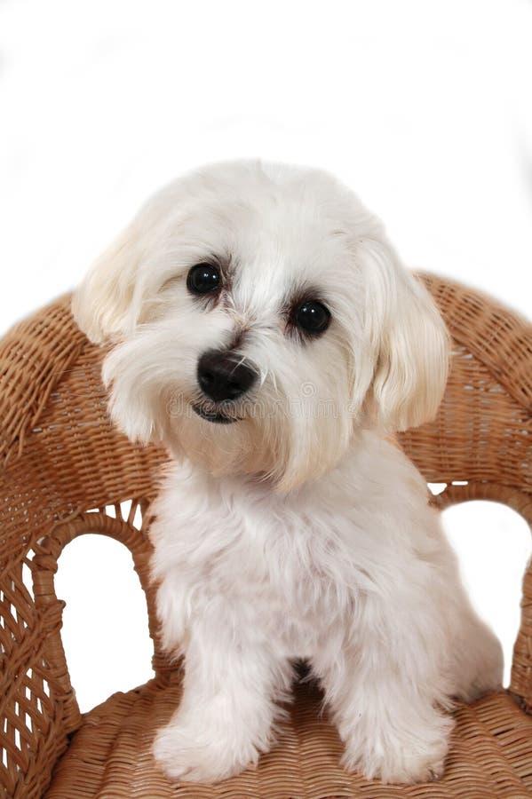 Maltees Puppy stock afbeeldingen