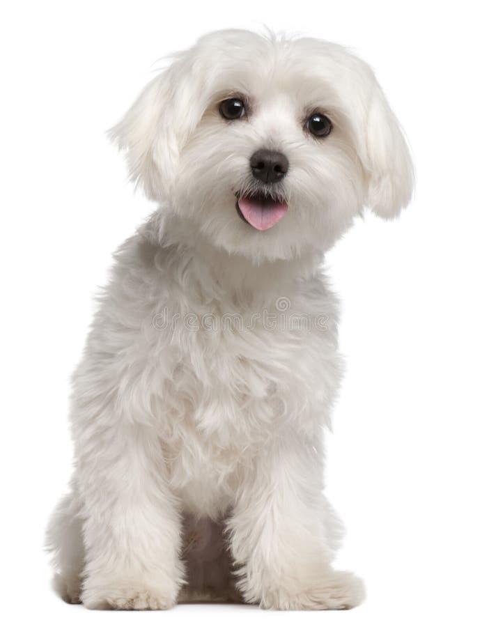 Maltees puppy, 9 maanden oud, het zitten stock afbeeldingen
