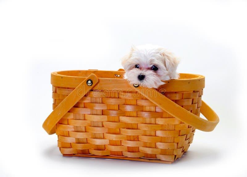 Maltees Puppy in mand royalty-vrije stock fotografie