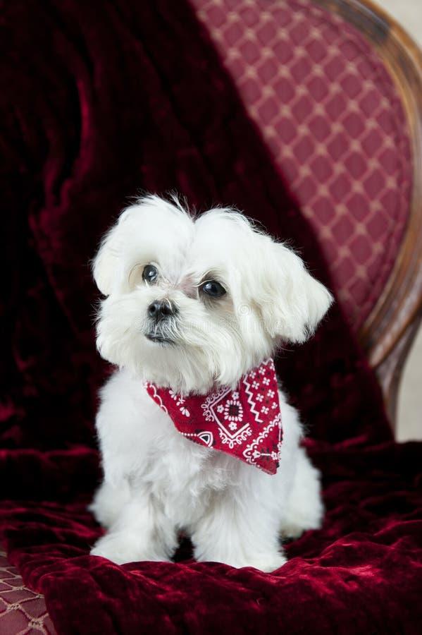 Maltees Puppy op Rood stock foto's