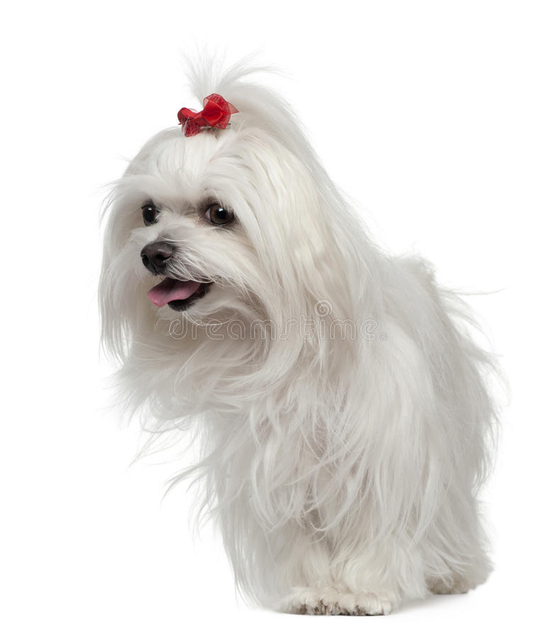 Download Maltese, 3 Years Old, Standing In Front Of White Royalty Free Stock Photo - Image: 23088675