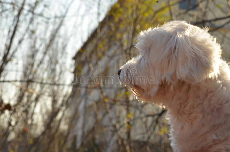 maltese foto de stock royalty free