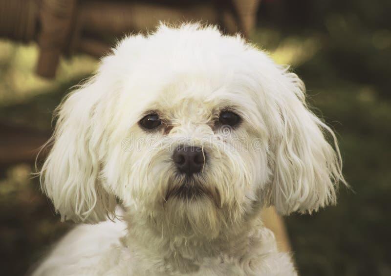 Maltese bichon. White bichon dog looking at camera royalty free stock photos