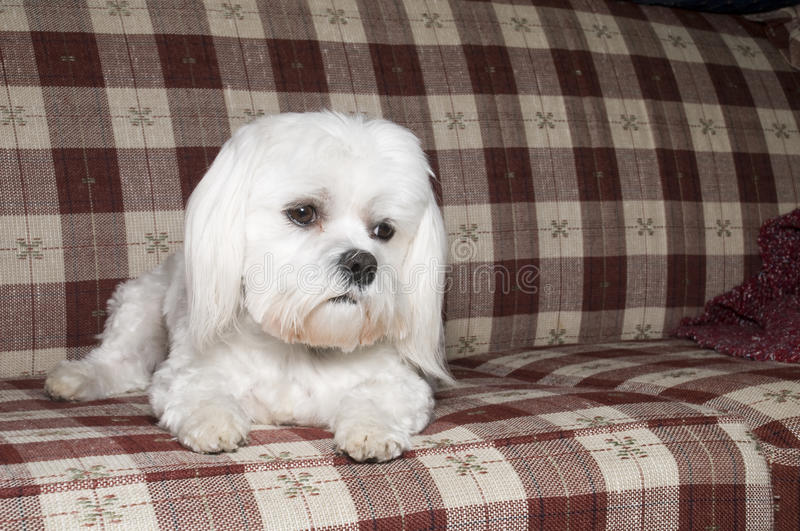 Maltese on Couch. Laying Down with Sad Face royalty free stock images