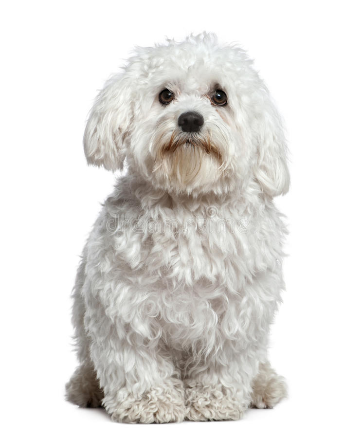 Maltese dog, 1 and a half years old, sitting stock images