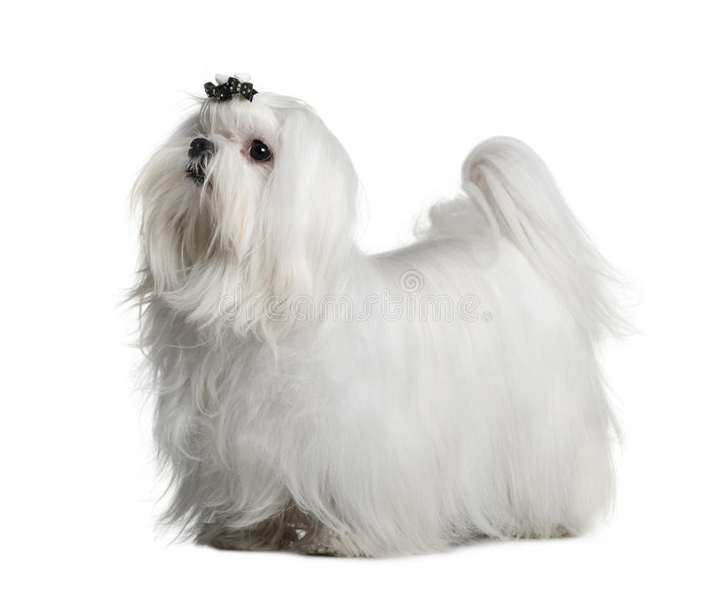 Maltese dog, 1 year old, standing royalty free stock photo