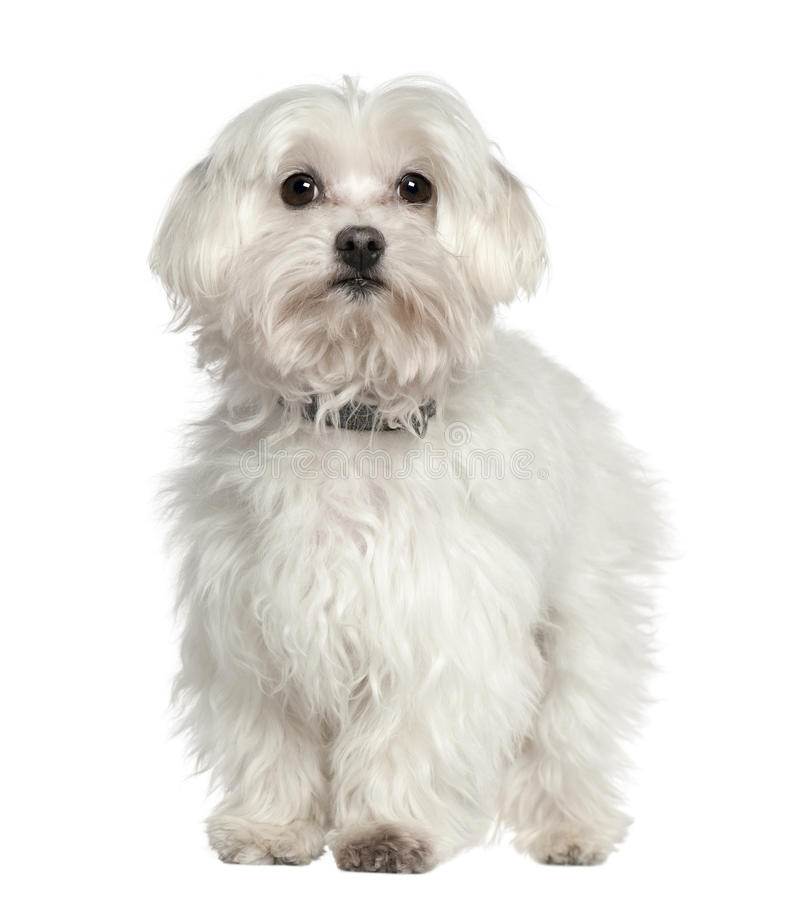 Free Maltese Dog, 11 Years Old, Standing Stock Image - 15360681