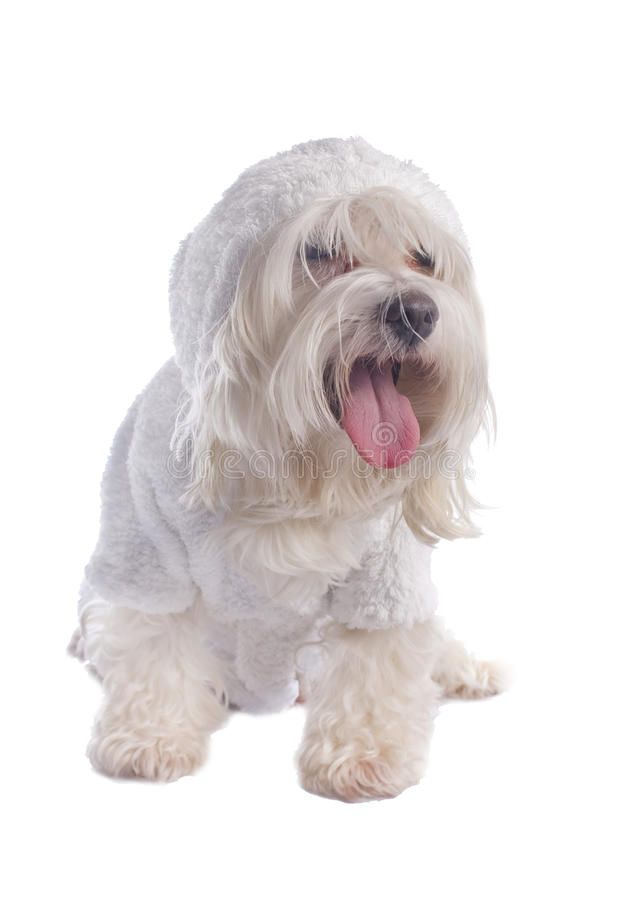 Maltese dog stock photos