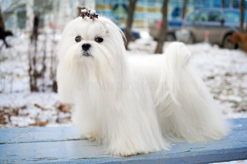 Maltese Dog. Portrait of a Maltese dog in winter outdoors