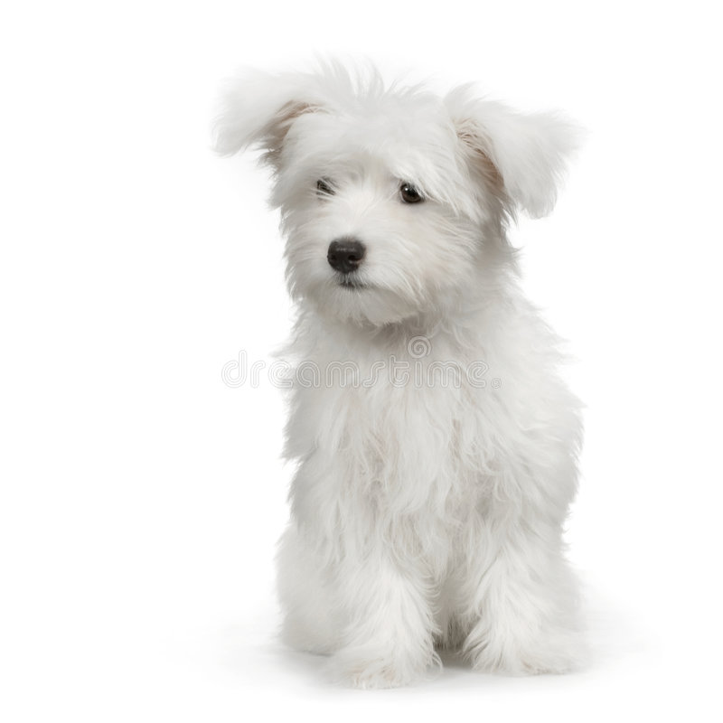 Free Maltese Dog Royalty Free Stock Photos - 2329238