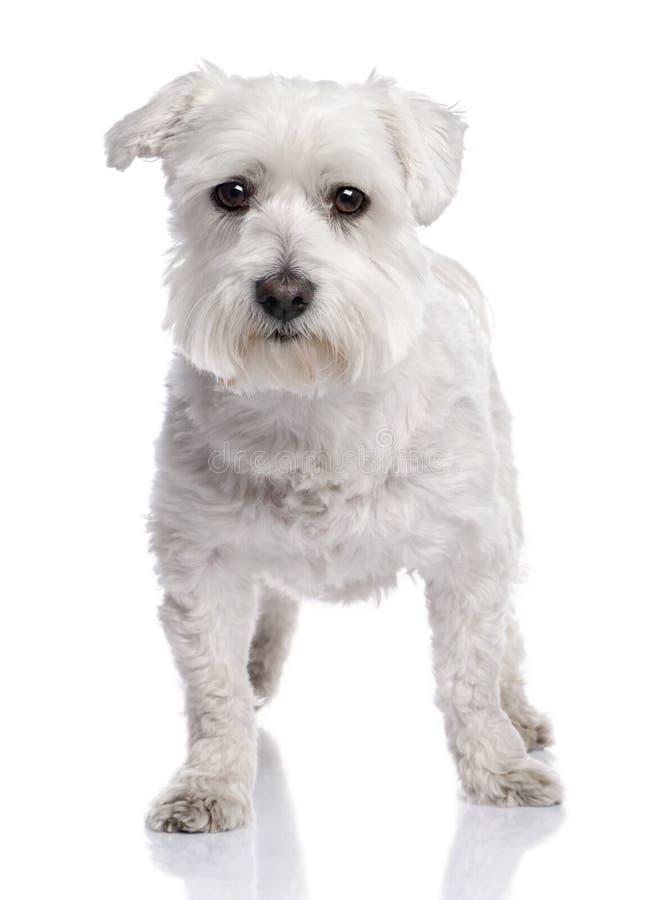 Maltese dog (6 months old)