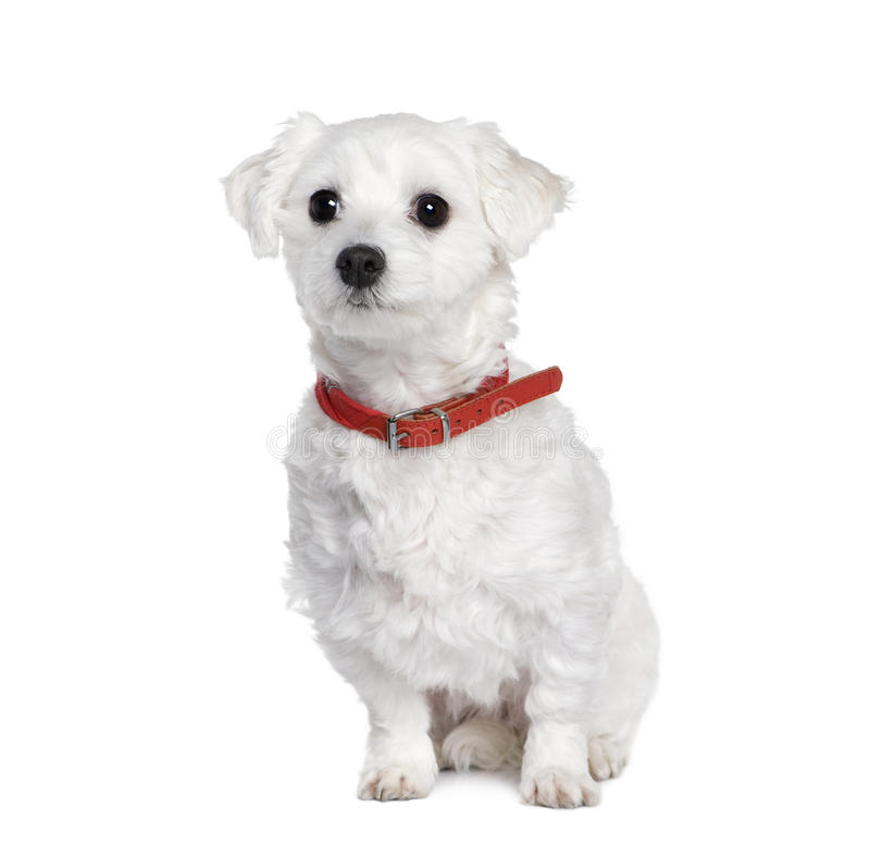Free Maltese Dog, Bichon, Sitting. Royalty Free Stock Photography - 11292347