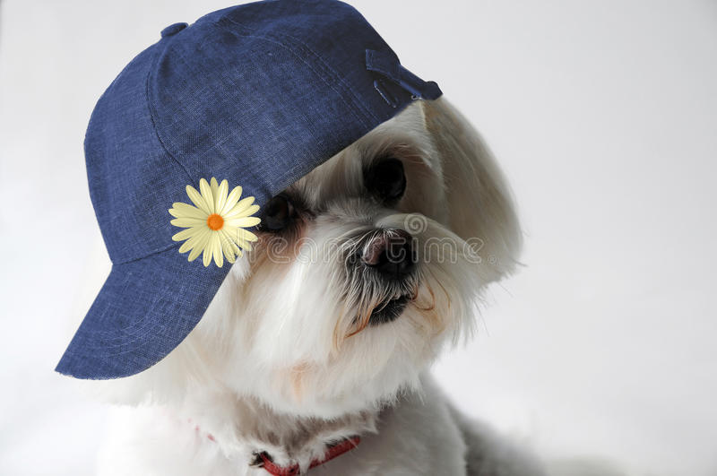 Maltese dog with cap. Portrait of a cheeky maltese dog wearing a jeans cap stock photos