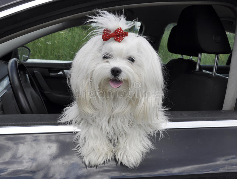 Maltese dog in the car looking out the window stock photography