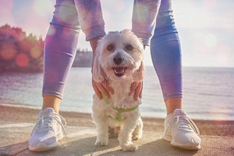 Maltese Dog . Happy dog Looking in Camera Domestic, pedigreed, At the sea , sunset. White Maltese Dog Closeup. Happy dog Looking in Camera Domestic, pedigreed royalty free stock photo