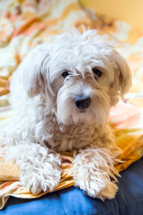 Download Maltese dog stock image. Image of look, nose, little - 32399209