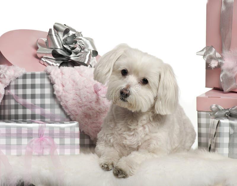 Maltese dog lying with Christmas gifts stock photo