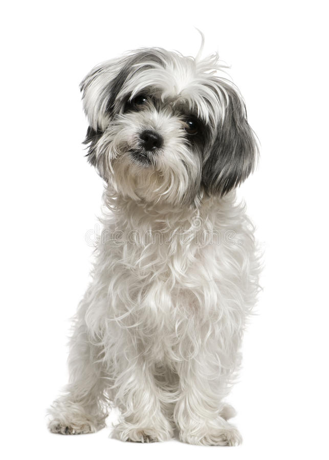 Maltese dog mixed with a Shih Tzu, 3 years old stock images