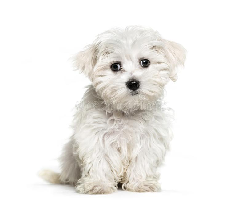 Maltese dog, 3 months old. Sitting in front of white background royalty free stock image