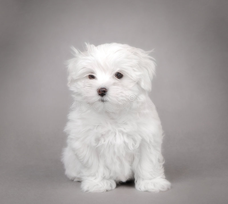 Maltese dog puppy stock image
