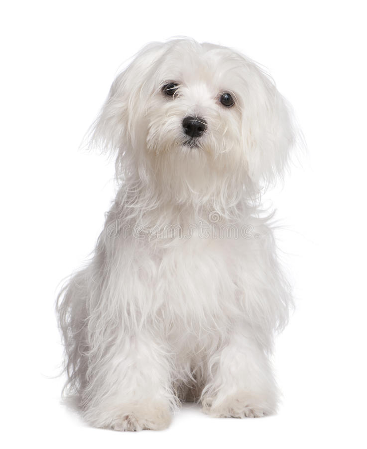Maltese Dog With Puppy Cut