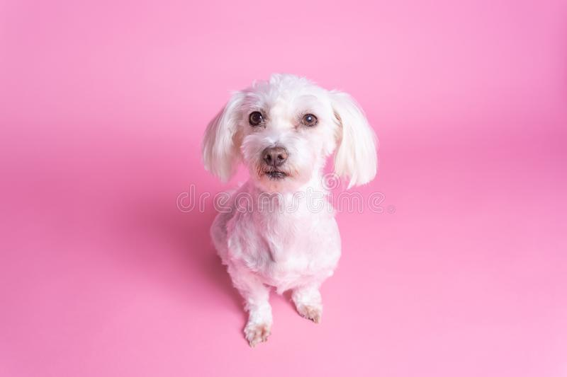 Maltese dog sitting, short coat. Top view, pink background. Studio stock photography