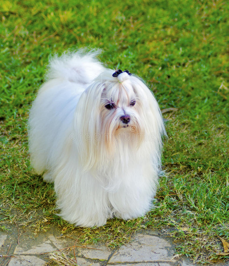 Maltese dog. A view of a small, young and beautiful Maltese show dog with long white coat standing on the lawn. Maltese dogs have silky hair and are royalty free stock photos