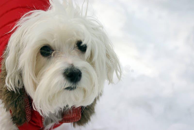 Maltese Dog in Winter Jacket stock image